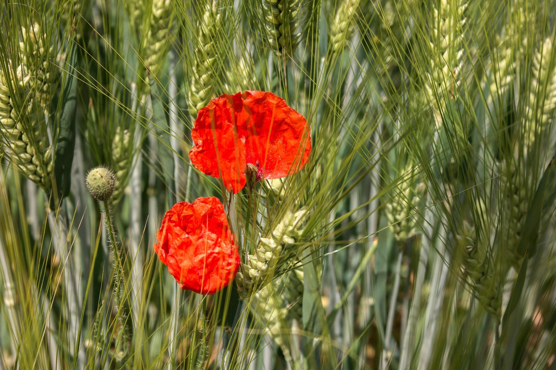 poppy-800977_1920